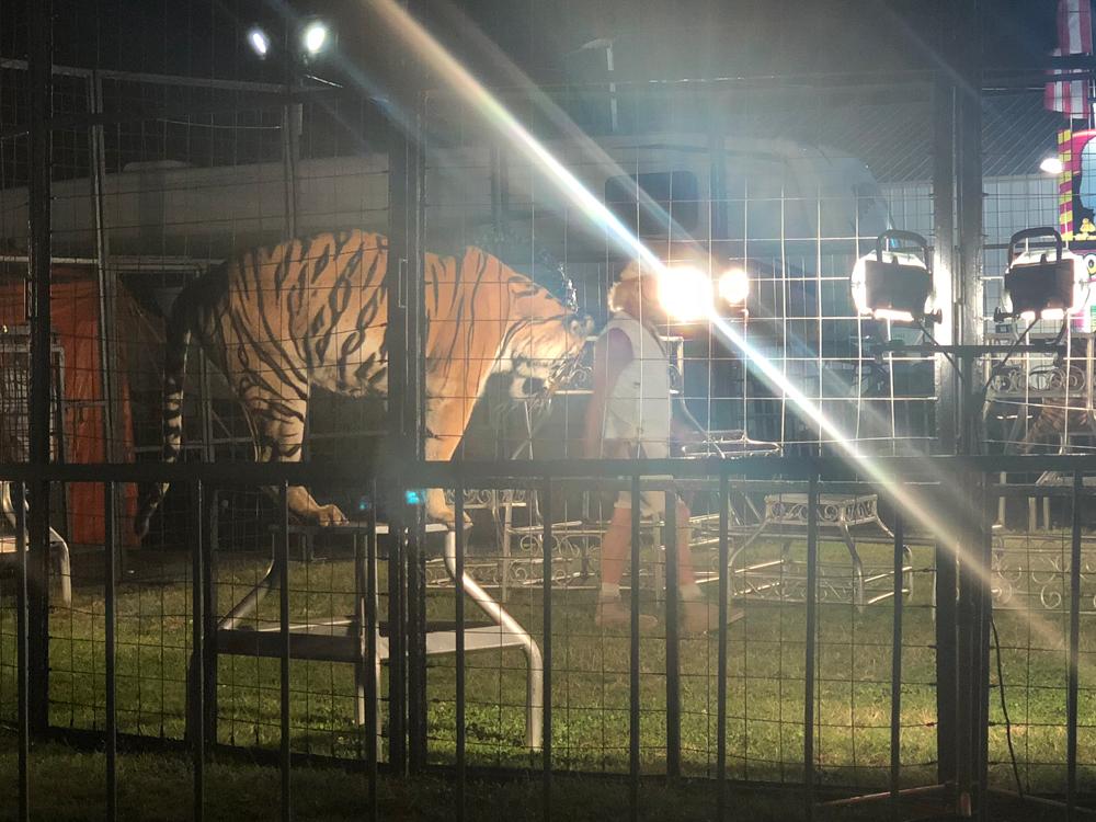 union-county-fair-tiger-1