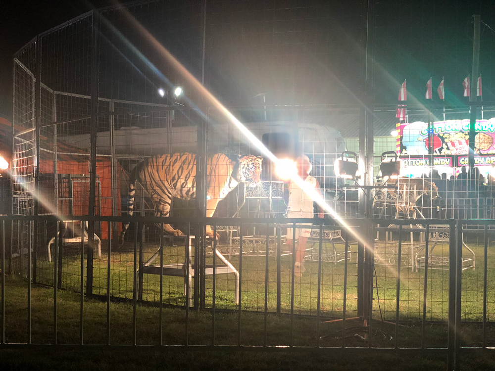 union-county-fair-tiger-5