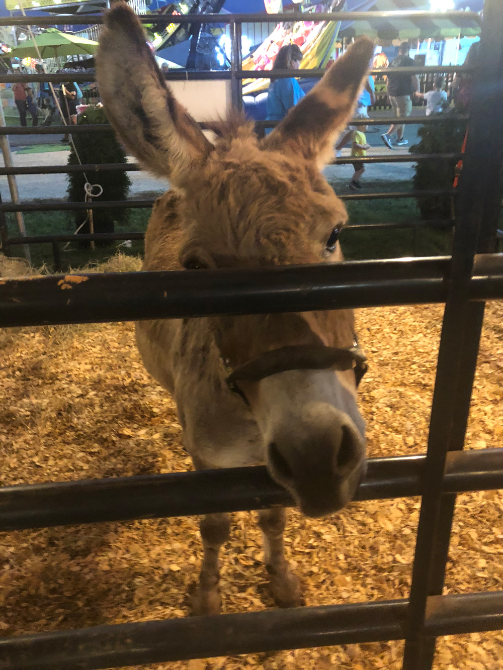 union-fair-all-american-petting-zoo-donkey-2