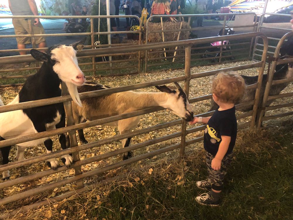 union-fair-all-american-petting-zoo-goat