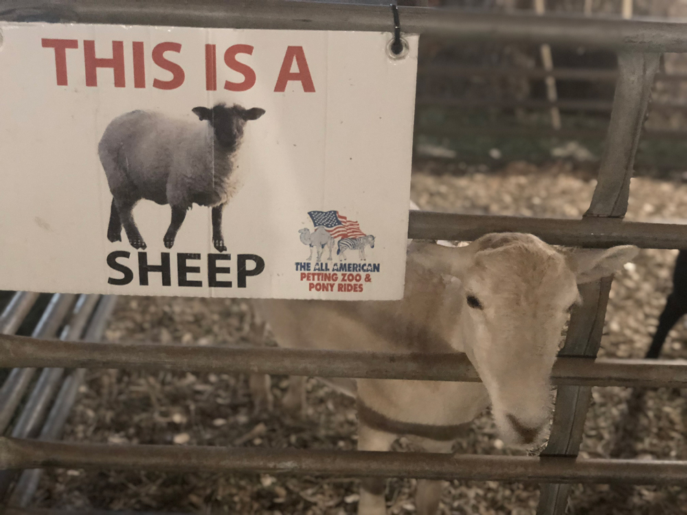 union-fair-all-american-petting-zoo-sheep